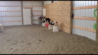 Impressive Display of Stock Dog Obedience
