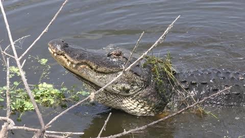 alligator growling during breeding season