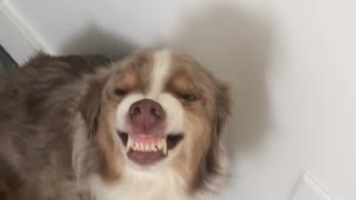 Dog Hides Guilt With Super Cheeky Smile
