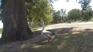 Goose strolling around local lakeshore.