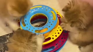 Trio of kittens adorably play with favorite toy