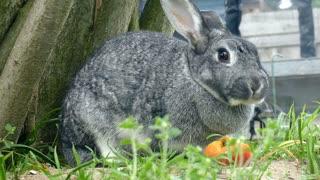 rabbit eating apple 2