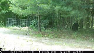 Backyard Black Bear
