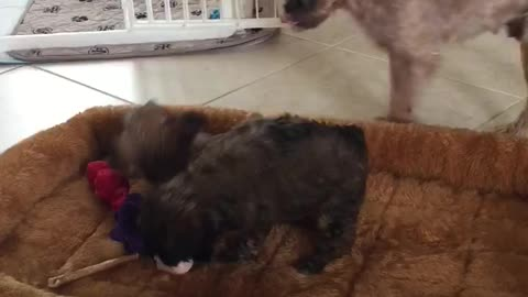 Brussels Griffon Puppies