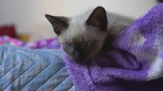 Adorable little Siamese kitten