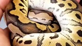 Ball Python aka Python regius