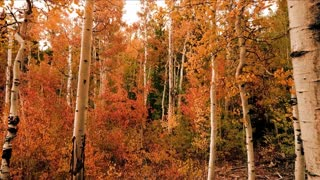 Autumn Trees Nature Forest Birch Trees
