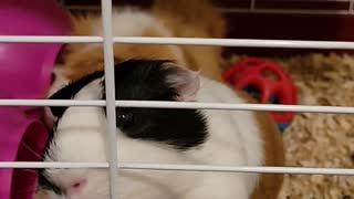Guinea pigs loves carrots