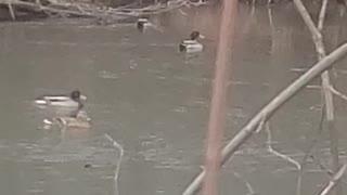 Very active duck