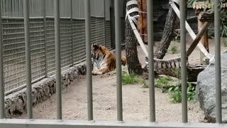 Beautiful tiger at the zoo.