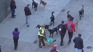 Street dog attacking police dog