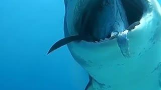 A dangerous predatory shark