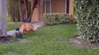 Glorious Golden Struggles with Fetch