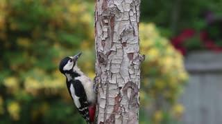 Watch a woodpecker bird hobby over trees