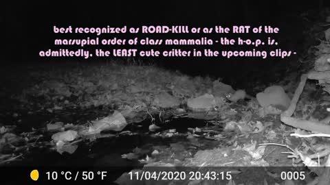 Scofflaw Nightlife presents: the Humble Opossum: a three-part mini-series (part 1)