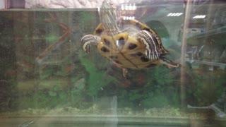 The turtle swims in an aquatic aquarium.