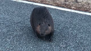 Adorable moment beaver caught crossing the road |Beaver attacks our van