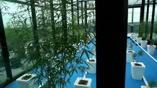 Tailandia inicia el suministro de marihuana medicinal a pacientes con cáncer