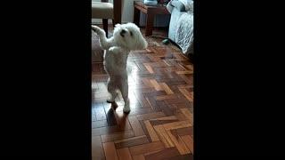 Smart Little Dog
