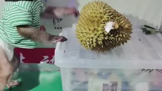 Little monkey playing with durian