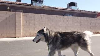Light running with my Husky