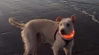 Dog shocked at ocean waves, starts barking at them