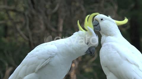 white cackatoo