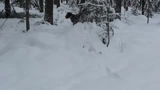 Spanish water/snow dog
