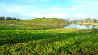 The beauty of nature, sheep and ducks