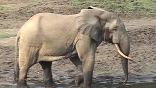 Forest Elephant Rumbling