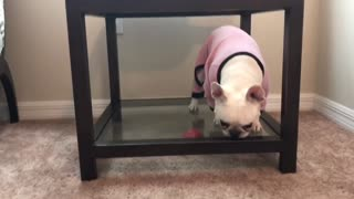 Determined French Bulldog can't reach ball under glass table