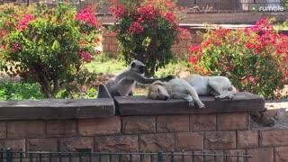 Monkey hilariously pets unsuspecting sleeping dog
