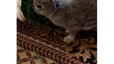 My rabbit is eating grass