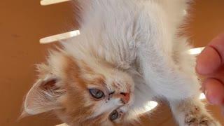 Cute blond kitten