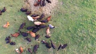 Flight Over Cows