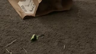 Lion head bunny playing with paper bag