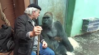 Gorilla Silverback Roututu meets his friend