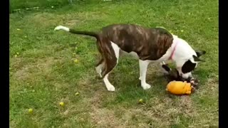 Ferret gets airborne while playing tug-of-war with pit bull