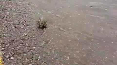 mate Narrow-mouth frog