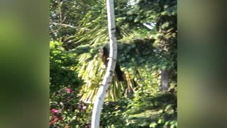 Giant Corvid Visits my Backyard (Music Video)