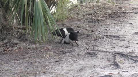 Wild piglets playing in Florida wetlands