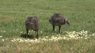 two young canada geese feeding on popcorn in the park