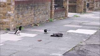 Sparrowhawk attacks jackdaw