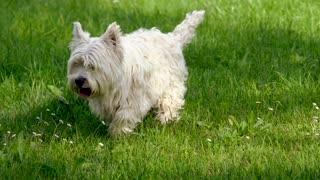 Cute Griffon Dog Walking Around In Fresh Green Grass