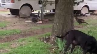 Dog and wild turkeys.