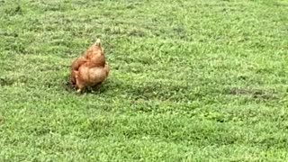 Chickens hanging out