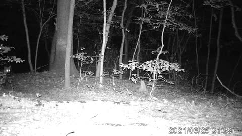 Red Foxes at my Trail Camera June 2021