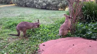 Kangaroos Practice Social Distancing
