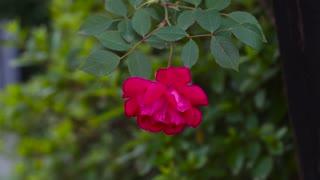 flower rose!