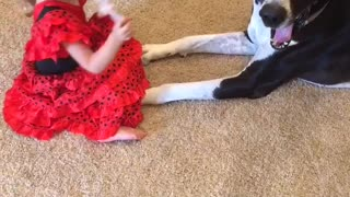 Great Dane Botti playing with Barbies